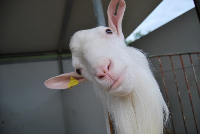 Disegni di animali della fattoria da colorare animali - Immagini da colorare capra ...